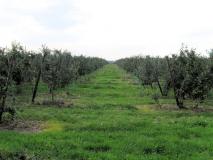 riesige_Apfelbaumreihen_bei_Ebenheit_klein