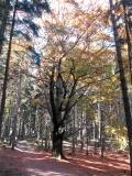Baum_Dreipfotiges_Buechel_Tripackovy_buk_klein