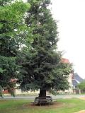 Dorfplatz_Gohrisch_Linde_klein