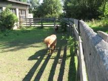 Falabella-Ponys_Hohnstein_klein
