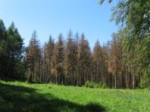 Borkenkaefer_befallener_Wald_klein