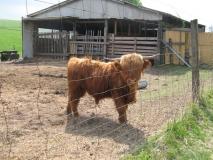 Highlander-Kuh_bei_Heeselicht_klein