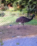 Emu-1_klein