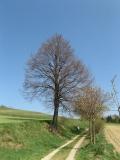 Saeume_bei_Mittelndorf_klein