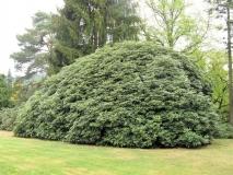 gigantischer_Rhododendronbusch_klein