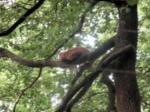 Ostrauer_Luchs_auf_Baum_klein