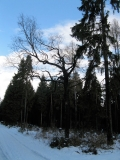 Kreusels_Eiche_im_Winter_klein